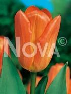 Tulipano semplice arancio 785405
