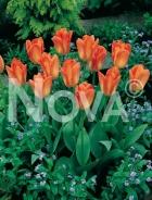 Tulipano fosteriana arancio 785445