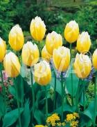 Tulipano fosteriana giallo 785447