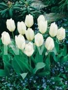 Tulipano fosteriana bianco 785452