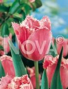 Tulipano crispa rosa 786211
