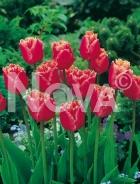 Tulipano crispa rosa 786220