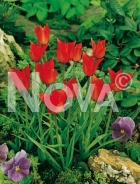 Tulipa linifolia rosso 786800