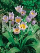 Tulipano saxatilis lilla 787001