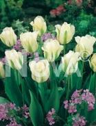Tulipano viridiflora bianco 787305