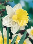 Narciso a grande coppa bianco-giallo 800004