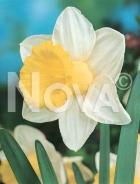 Narciso a grande coppa bianco-giallo 800010