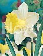 Narciso a grande coppa bianco-giallo 800040
