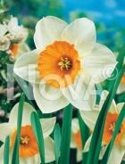 Narciso a grande coppa bianco-arancio 800152