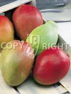 Mango MN189