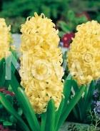 Giacinto giallo 801212