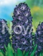 Giacinto blu 801317