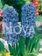 Giacinto blu 801336