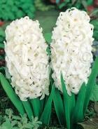 Giacinto bianco 801402