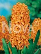 Giacinto arancio 801603