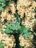 Ribes bianco RB96