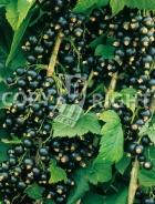 Ribes nero RB97