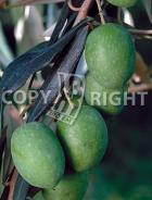 Oliva verde UL69