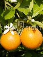 Arancio AG134