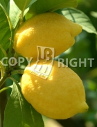 Limone AG164