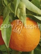 Mandarino AG143