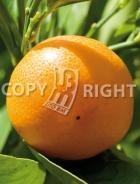 Mandarino AG506