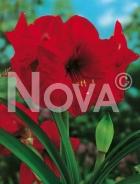 Amaryllis rosso 803126