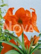 Amaryllis arancio 803211