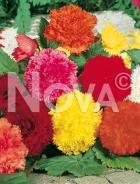 Begonia fimbriata miscuglio 804844
