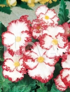 Begonia crispa 804904