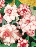 Begonia picotee 805102