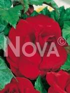 Begonia doppia rossa 805501