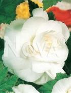 Begonia doppia bianca 805502