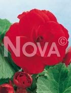 Begonia semplice rossa 806704
