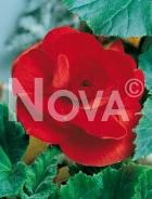 Begonia semplice rossa 806710