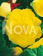 Begonia semplice gialla 806716
