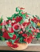 Begonia pendula rossa 807583