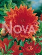 Dahlia decorativa arancio 808043