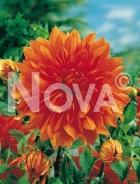 Dahlia decorativa arancio 808049