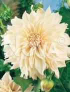Dahlia decorativa bianca 808213
