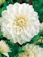 Dahlia decorativa bianca 808302