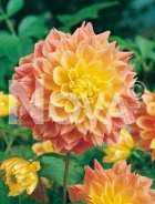 Dahlia decorativa arancio 808554