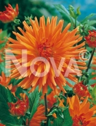 Dahlia cactus arancio 809068