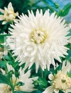 Dahlia cactus bianca 809308