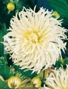 Dahlia cactus bianca 809309