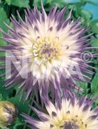 Dahlia cactus bianca-lilla 809511