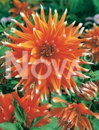 Dahlia cactus arancio 809523