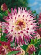 Dahlia cactus bianca-porpora 809546