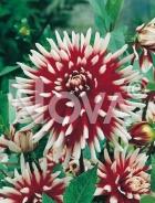 Dahlia cactus bianca-rossa 809566