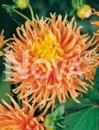 Dahlia cactus arancio 809570